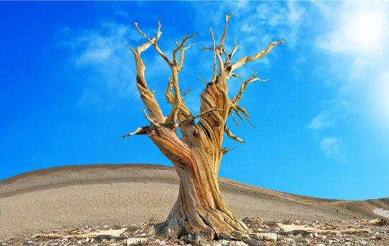 Pinus-longaeva-bioretro