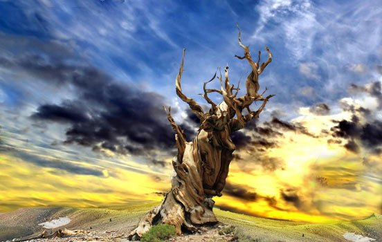 Pinus-longaeva-bioretro2