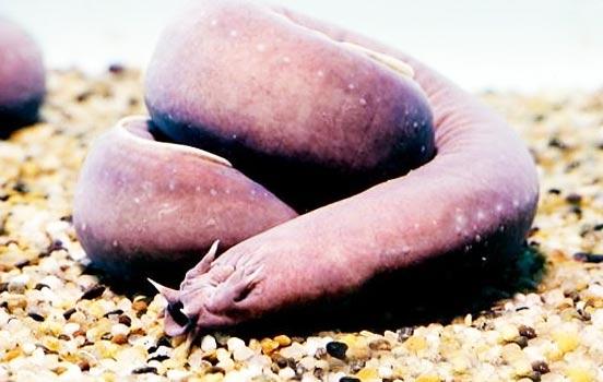 peixe-bruxa-bioretrô