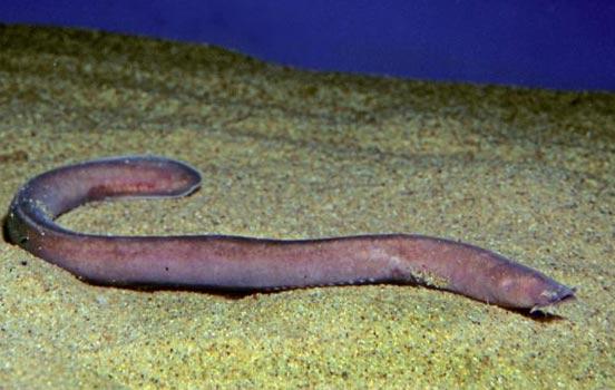 peixe-bruxa-bioretrô1